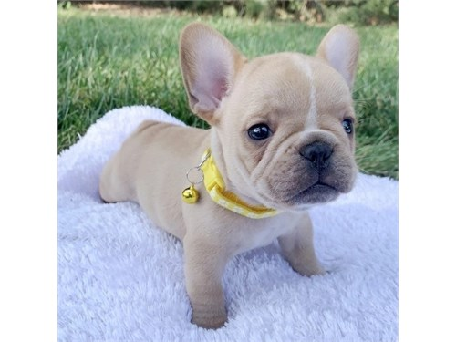 Frenchies Puppies