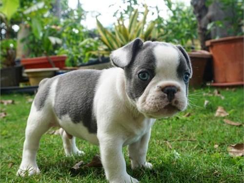 French bulldog puppies Av