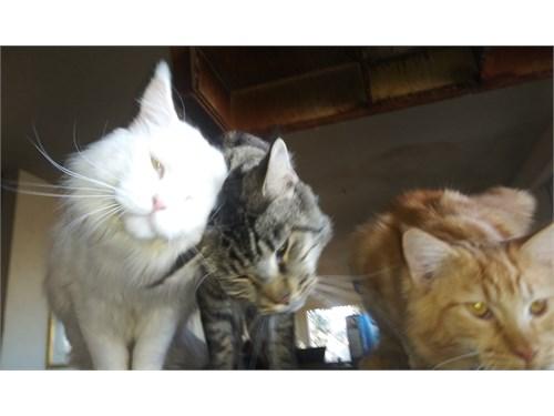 Main coon kittens!