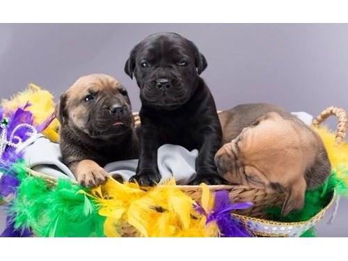Cane Corso Italiano Pups
