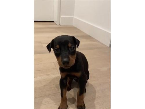 Pure Doberman puppy