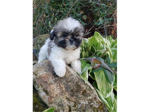 Available Shih Tzu Pups,