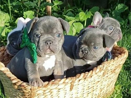 Akc Fench Bulldogs