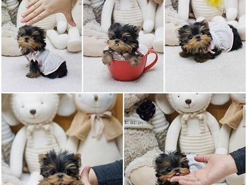 Tea cup yorky puppy