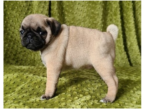 charitable Pug puppies