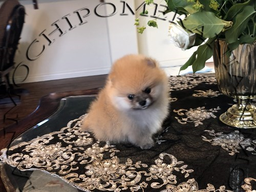 AKC Orange Pomeranian