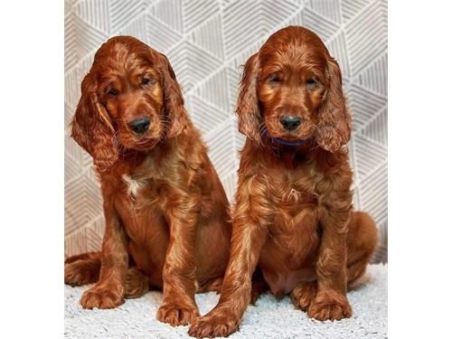 Irich setter puppies