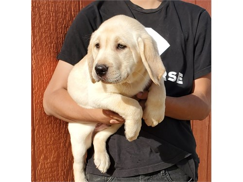 AKC Male Lab Puppy