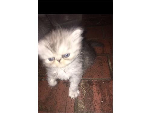 Persian full breed, 8 wks