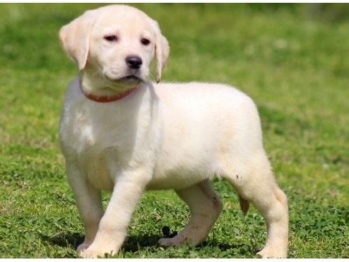[][cute la.br.ador pupps