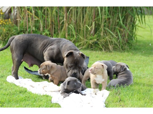 6ame.rican pit.bull pups