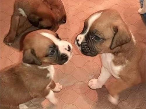 Akc Reg.Boxer Puppies