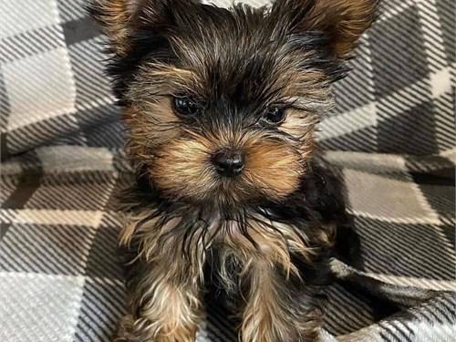Beautiful Yorkie Puppies