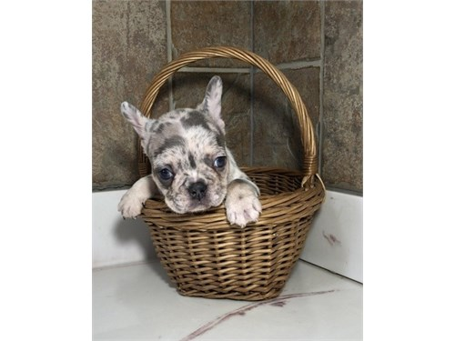 Adorable Frenches pup