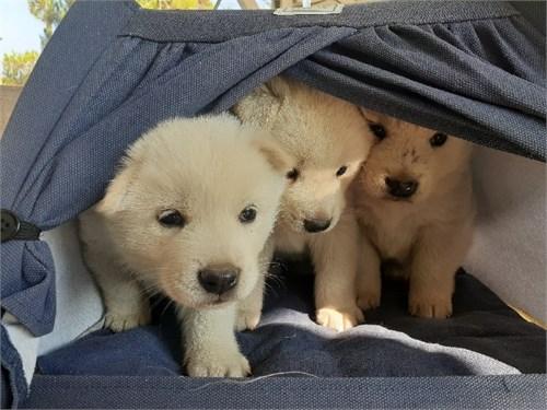 Jindo Puppies Male cute