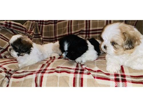 Shih Tzu Puppies.
