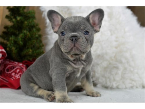 AKC French Bulldog Puppie