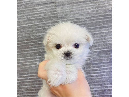 Teacup Maltese male puppy