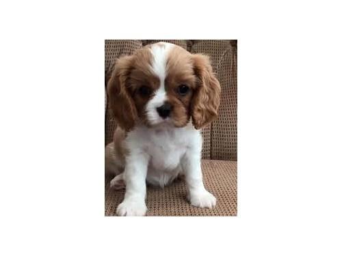 king charles cavalier pup