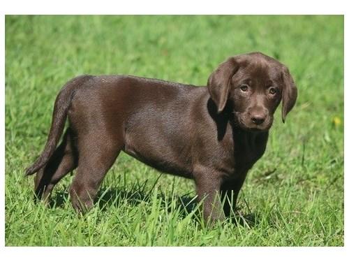 Labrador retriever puppie