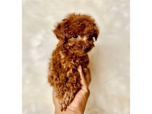 Toy Poo+dles Pups 4 Sale