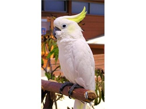 Yellow Umbrella Cockatoo