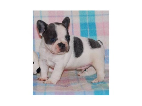 French Bulldog Available