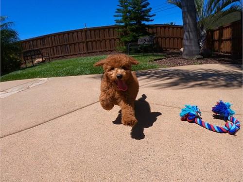 Goldendoodle Pup Archer!!