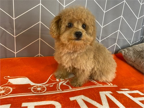 Flash teddy bear maltipoo