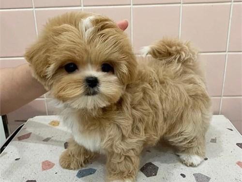 adorable malti-poo pup