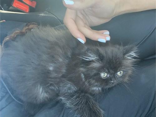 Smoky black Persian cat