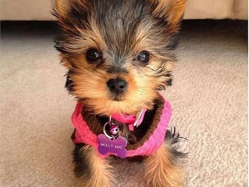Cute Yorkie puppies