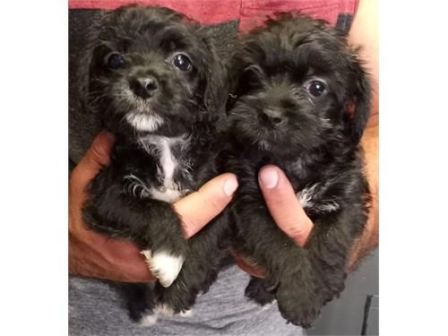 yorkie poo puppies