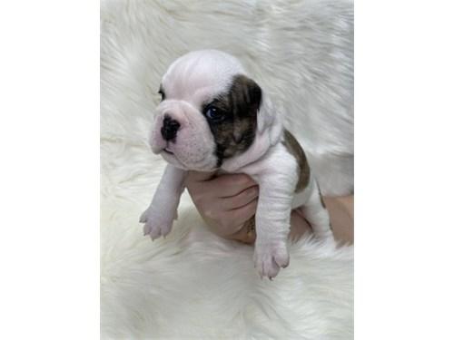 Playful English Bulldog