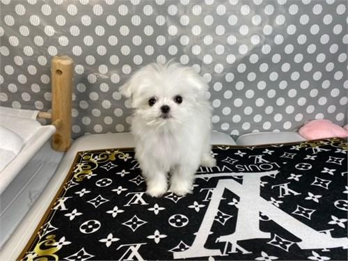 Prince-TIny maltese puppy
