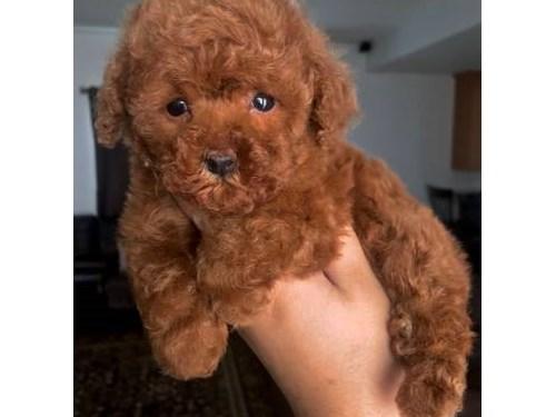 AKC Red Toy Poodles