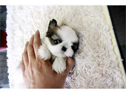 Mini Shih-Tzu Puppies