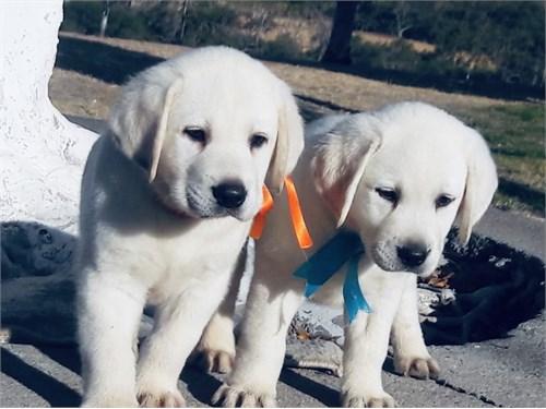 Labrador English Pups