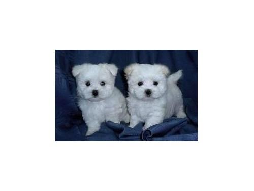 Maltese puppy Ivy