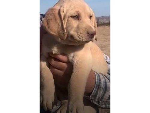 AKC Lab Puppy Lucy