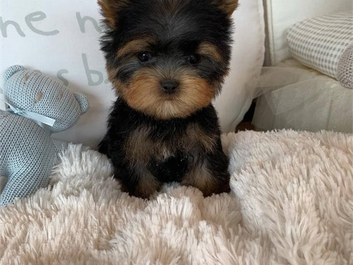 Yorkie For you