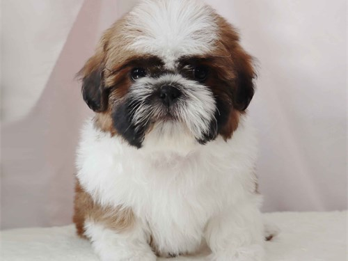 Beautiful Shih-Tzu puppy