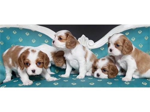 King Charles Spaniel Pups