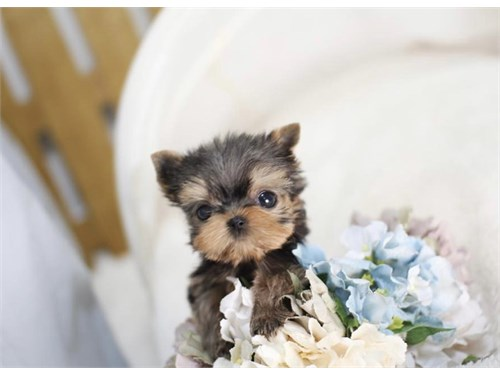 Yorkies p available