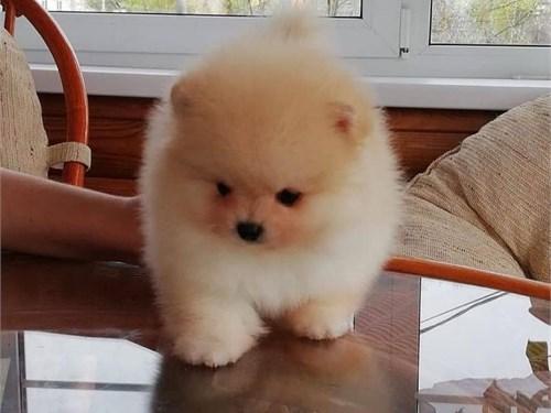 Pom's as pupies