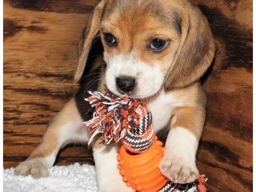 Beagle puppies up for ado