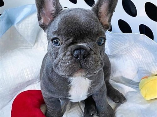 Cute French Bulldogs