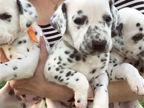 Delightful Dalmatian Pups