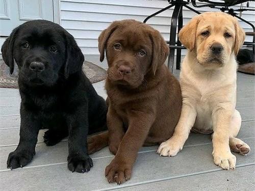 Cute Retrievers Puppies