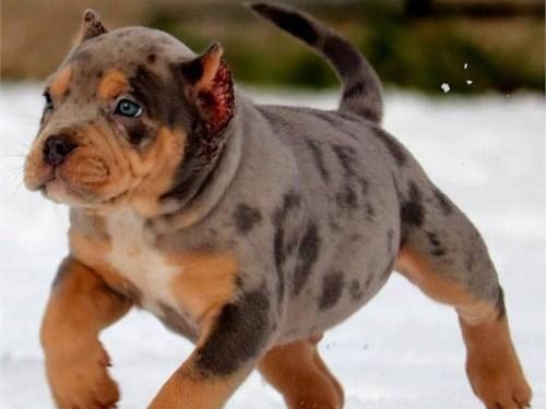 Home raised pitbull